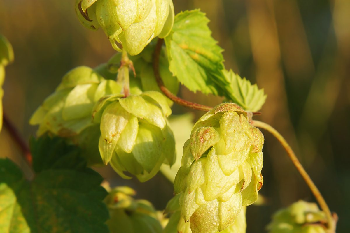 2019 United States Hop Crop & Hop Acreage Report