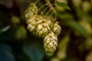 Czech hop production 2020