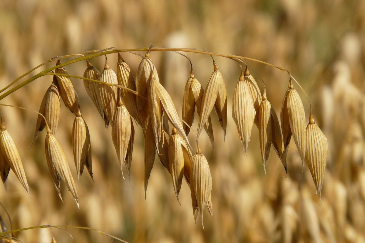 October 7: Webinar about Viking CaraBody Malt and Viking Oat Malt